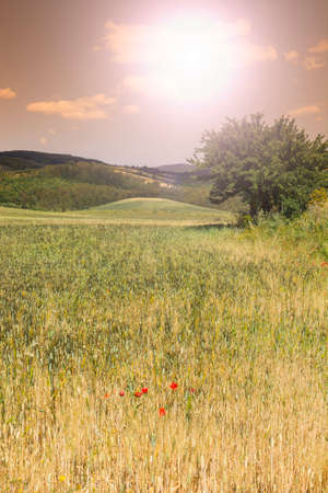 Wheat fields in Sicily. Sicilian landscape at sunrise, hills, flowers, pasture and sunlight