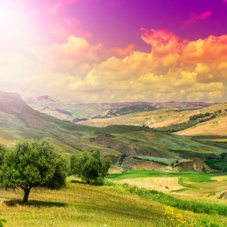 Wheat fields and olive trees in Sicily after harvesting. Sicilian landscape at sunrise, hills, flowers, groves and sunlight