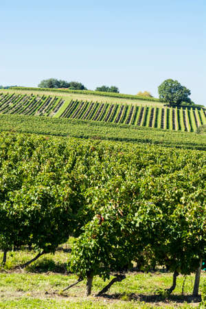 French wine farm surrounded with beautiful rows of vineyards before harvesting