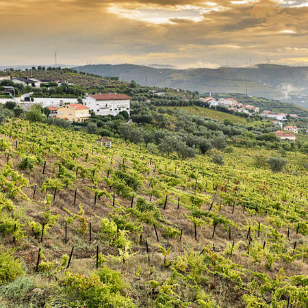 Vineyards of the River Douro region in Portugal. Viticulture in the Portuguese village. Gorgeous misty sunrise over beautiful green vines