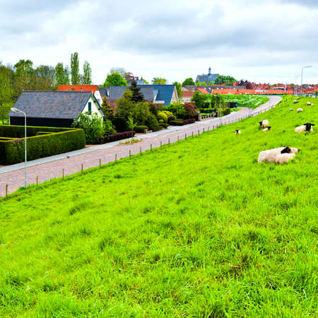 Sheep grazing on protective dam in Holland. High dike, protecting the low lying land with grazing sheep.