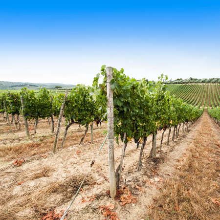 Italian wine farm surrounded with vineyards and olive trees. 免版税图像