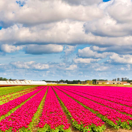 Fields of blooming tulip flowers in Nethrlands. Greenhouses for growing tulip in Holland.