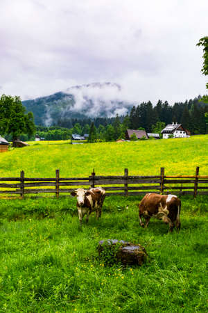 Morning mist and rain over the Austrian landscape with forests, fields, meadows and villages.  Cows grazing on fresh green mountain pastures  in rural Austria