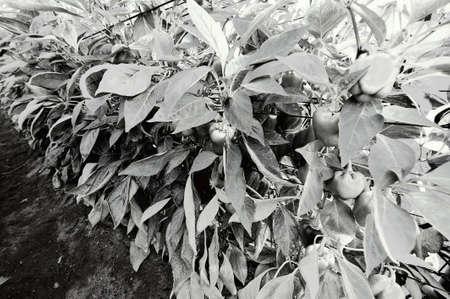 Green pepper inside the greenhouse in Israel. Industrial growth of sweet vegetable in orangeries of the Jordan Valley Stock Photo
