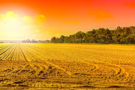 Righe di giovane semenzale fresco sullo sfondo del cielo all'alba. Paesaggio agricolo mozzafiato e natura del Portogallo Archivio Fotografico