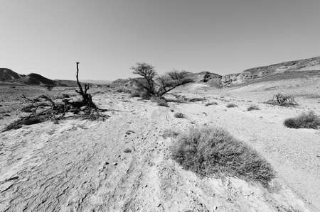 Life in a lifeless infinity of the Negev Desert in Israel. Breathtaking landscape and nature of the Middle East. Black and white photo