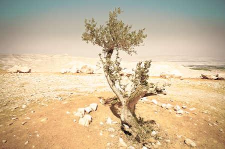 Olive tree in the Negev Desert in Israel. Breathtaking landscape of the desert rock formations in the Southern Israel Desert. Standard-Bild