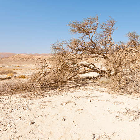 Dry tree in the infinity of the Negev Desert in Israel. Breathtaking landscape and nature of the Middle East. Imagens