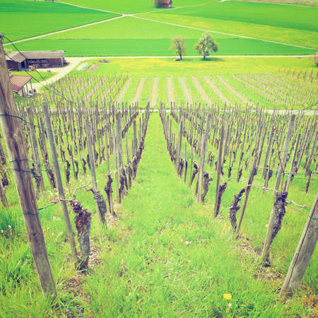 Young Vineyard on the Slopes of the Swiss Alps
