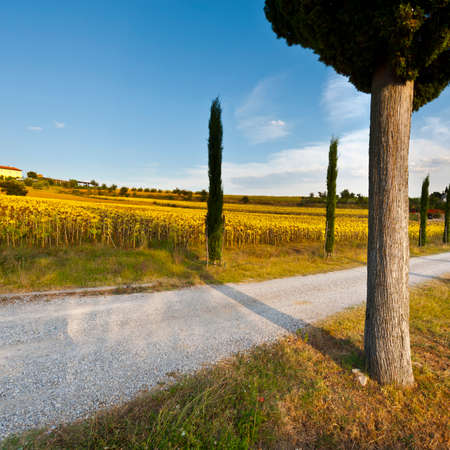 Dirt road leading to the farmhouse in Tuscany in Italy. Cypress alley between the fields of ripe sunflowers.