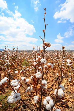 Cotton field background ready for harvest under the Israel sky macro close ups of plants