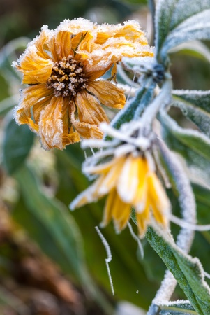 hirta: Frosty yellow flowers, covered ice crystal