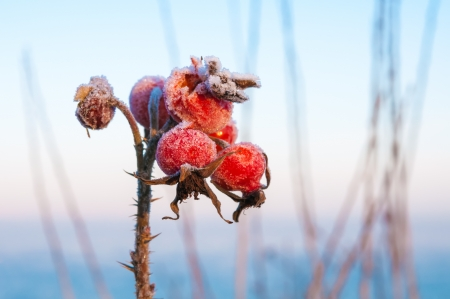 Rose hips covered with ice photo