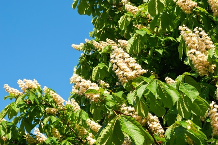 Flowering branches of chestnut, small dof photo