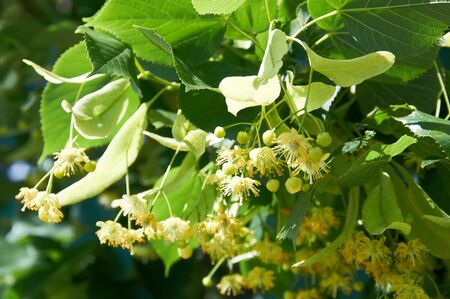 linden blossom: Linden Tree  lime tree  linden blossom  Stock Photo