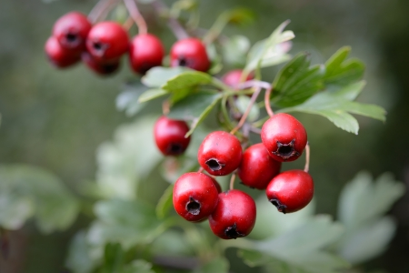 trees with thorns: Ripe hawthorn in autumn
