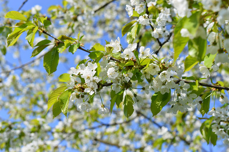 myrobalan: Cherry plum blossoming