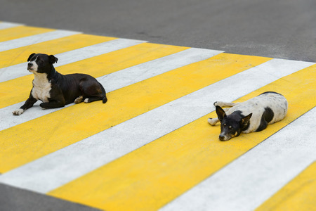 Two dogs lie on a pedestrian crossing photo
