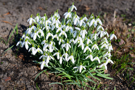 nivalis: Snowdrops (Galanthus nivalis)