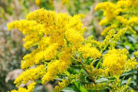 goldenrod: Blooming Goldenrod, Solidago flower