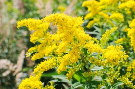 Blooming Goldenrod, Solidago flower