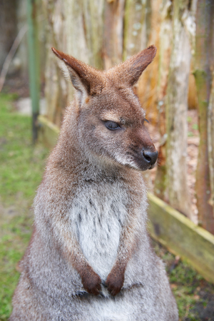 animal pouch: Brown kangaroo posing focus close up