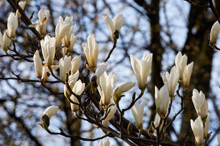 magnolia: White magnolia flower
