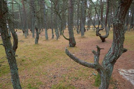 The Curonian Spit, dancing forest. Kaliningrad region Reklamní fotografie