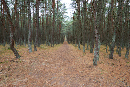 to spit: The Curonian Spit, dancing forest. Kaliningrad region Stock Photo