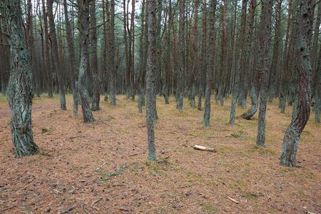 The Curonian Spit, dancing forest. Kaliningrad region Standard-Bild