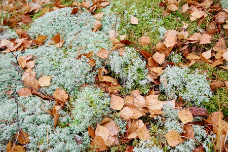 moss: Moss or reindeer moss in the forest