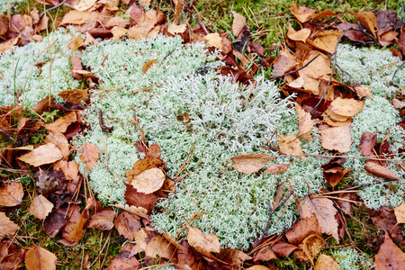 Moss or reindeer moss in the forest
