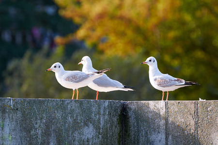Seagulls stand on the concrete parapet  in autumn morning