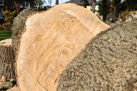 Stump of freshly cut tree, sawn wood Standard-Bild