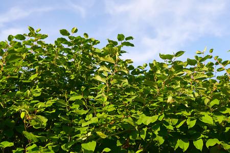 sakhalin: Sakhalin Knotweed or Fallopia sachalinensis in summer