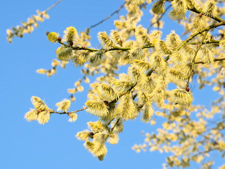 Flowering goat willow against the blue sky Stock Photo