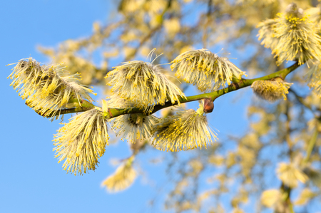 sallow: Flowering goat willow against the blue sky Stock Photo