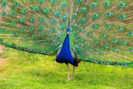 Peacock showing beautiful open feathers