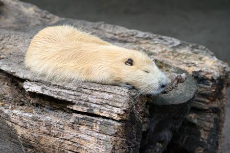 Coypu sleeping on an old stump 版權商用圖片 - 68300769