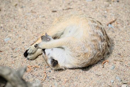 Meerkat schläft zusammengerollt auf Sand Standard-Bild - 68274092