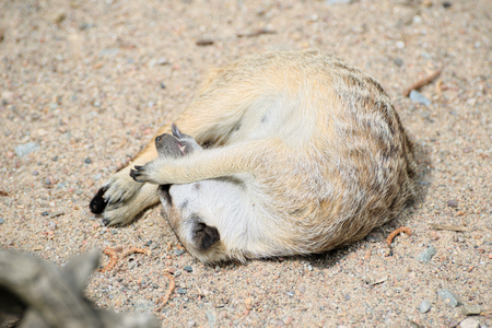 Meerkat sleeps curled up on sand 版權商用圖片 - 68274092