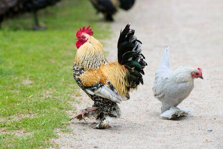 Dekorative Hahn und weiße Henne Standard-Bild - 69538477