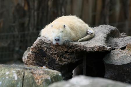 Coypu sleeping on an old stump