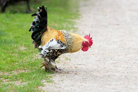 decorative rooster in search of food