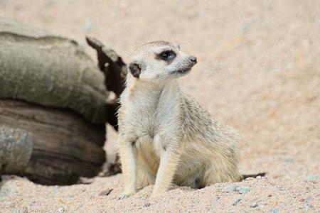 Funny meerkat in the sand