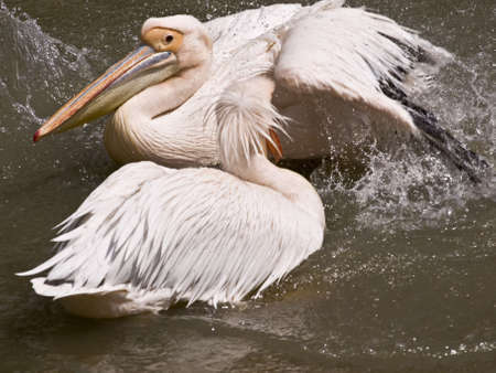 Two pelicans photo