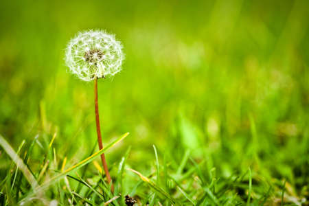 Dandelion in a green meadow photo