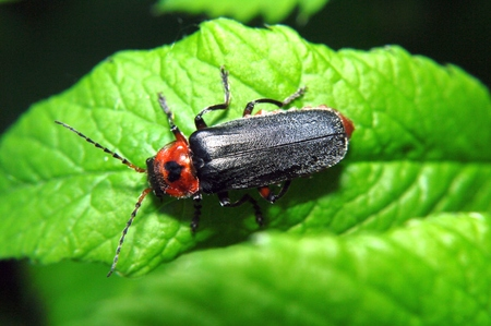 Black and red bug - Cantharis pellucida - sitting on a bright green leaf plants.