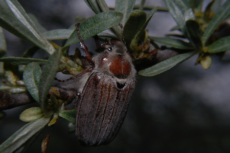 scarabaeidae: May beetle - Melolontha melolontha sitting on the sea buckthorn.